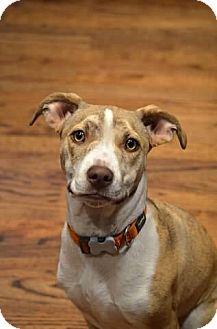 Pit Bull Terrier Mix Puppy for adoption in Seattle, Washington - MacKenzie