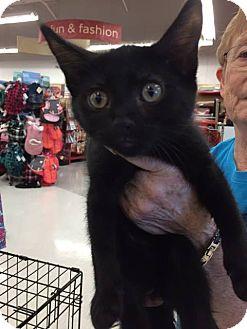 Domestic Mediumhair Kitten for adoption in Mansfield, Texas - Leo