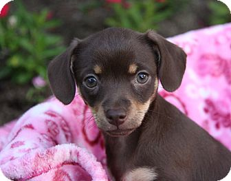 Chihuahua/Yorkie, Yorkshire Terrier Mix Puppy for adoption in Newport Beach, California - BABY DEE