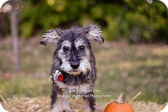 Schnauzer (Miniature) Mix Dog for adoption in Columbus, Ohio - Brutus Buckeye