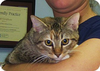 Domestic Shorthair Kitten for adoption in Wharton, Texas - Rustie