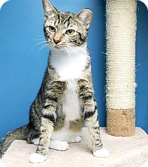 Domestic Shorthair Kitten for adoption in Virginia Beach, Virginia - Rajah