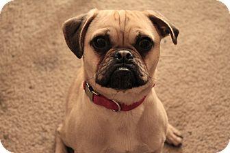 Pug/Chihuahua Mix Dog for adoption in Austin, Texas - Jasper