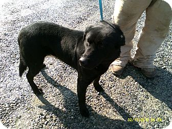 Labrador Retriever Mix Dog for adoption in Dundas, Virginia - Katherine
