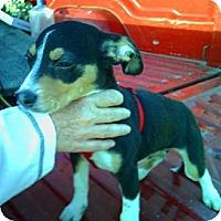 Adopt A Pet :: Celine - Carmel, IN