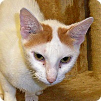 Adopt A Pet :: Angel - white settlment, TX