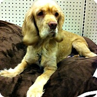 Adopt A Pet :: Abby Grace - Sugarland, TX
