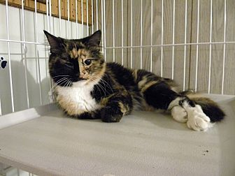 Calico Cat for adoption in Bartlett, Illinois - BOO