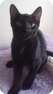 Domestic Shorthair Kitten for adoption in Schertz, Texas - Lina RA