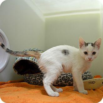 Domestic Shorthair Kitten for adoption in Wheaton, Illinois - Misty