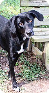 Labrador Retriever Mix Dog for adoption in Murphysboro, Illinois - Piper