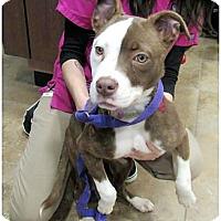Adopt A Pet :: Sasha - Wichita Falls, TX