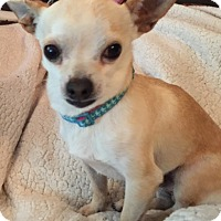 Chihuahua Dog for adoption in Vacaville, California - Rudy