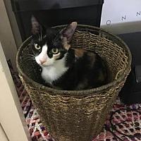 Adopt A Pet :: Callie - Los Angeles, CA