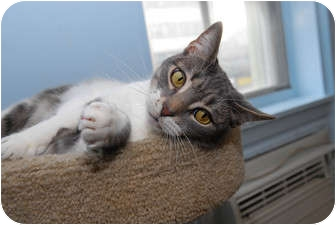 Domestic Shorthair Cat for adoption in New York, New York - Mimi
