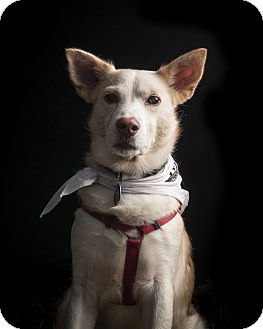 Husky/Border Collie Mix Dog for adoption in Spring City, Tennessee - Wasabi