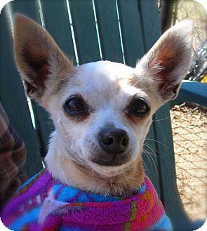Chihuahua Dog for adoption in El Cajon, California - Gypsy