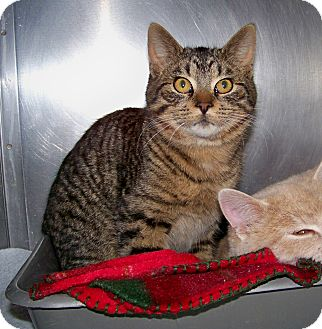 Domestic Shorthair Cat for adoption in Dover, Ohio - Bud