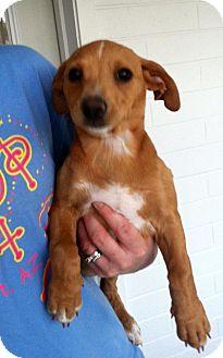 Dachshund/Chihuahua Mix Puppy for adoption in Gilbert, Arizona - Pru