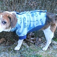 Beagle Dog for adoption in Clearfield, Kentucky - Joshua-TLC Sanctuary dog