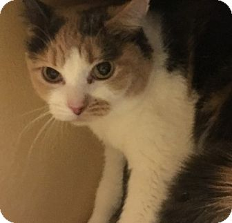 Domestic Shorthair Cat for adoption in Statesville, North Carolina - Calypso