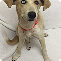 Adopt A Pet :: Bowie - Mission Viejo, CA