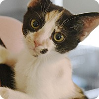 Domestic Shorthair Cat for adoption in Chattanooga, Tennessee - Flower
