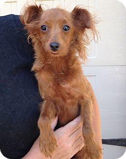 Papillon Mix Dog for adoption in Temecula, California - Red Baron