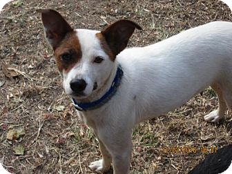 Jack Russell Terrier/Feist Mix Dog for adoption in Brookside, New Jersey - SASSIE