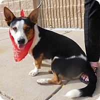 Jack Russell Terrier Mix Dog for adoption in Rockville, Maryland - Pedro