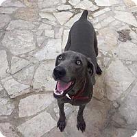 Adopt A Pet :: Belle - Fayetteville, AR