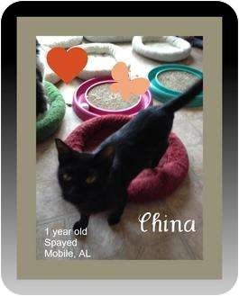 Domestic Shorthair Cat for adoption in Mobile, Alabama - China