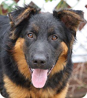 German Shepherd Dog Mix Puppy for adoption in Los Angeles, California - Tazz von Triptis