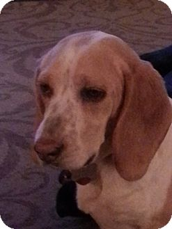 Beagle/Hound (Unknown Type) Mix Dog for adoption in Seattle, Washington - Snoopy