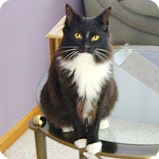 Domestic Longhair Cat for adoption in Howell, Michigan - Lexi and Tiki