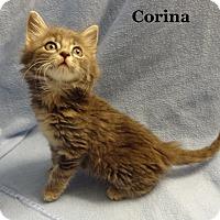 Adopt A Pet :: Corina - Bentonville, AR