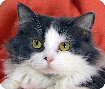 Domestic Mediumhair Cat for adoption in Renfrew, Pennsylvania - Dalaney