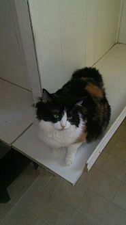 Calico Cat for adoption in Elk Grove, California - Muffin
