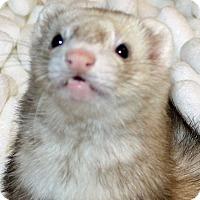 Adopt A Pet :: Ella - Indianapolis, IN
