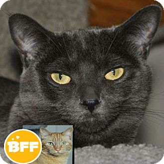 Domestic Shorthair Cat for adoption in Edmonton, Alberta - Miss Blue