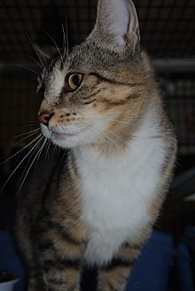 Domestic Shorthair Cat for adoption in Bay City, Michigan - Calla