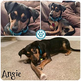 Terrier (Unknown Type, Small)/Miniature Pinscher Mix Dog for adoption in Kimberton, Pennsylvania - Angie