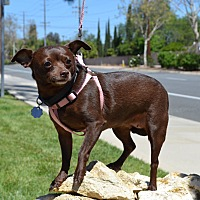 Chihuahua Mix Dog for adoption in Simi Valley, California - Faith