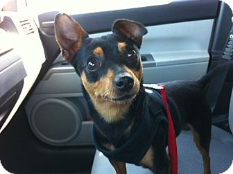 Miniature Pinscher Mix Dog for adoption in Gainesville, Florida - Moose