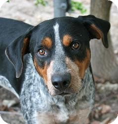 Blue Heeler Mix Dog for adoption in Lufkin, Texas - Gryphon
