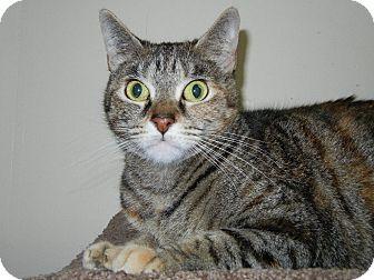Domestic Shorthair Cat for adoption in Miami, Florida - Milicent