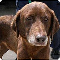Adopt A Pet :: Drew - Altmonte Springs, FL