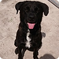 Adopt A Pet :: Abbie - Williston, FL