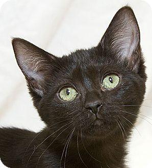 Domestic Shorthair Kitten for adoption in Sacramento, California - Katarina V
