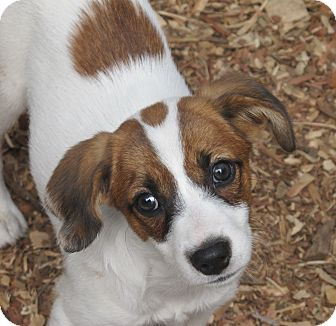 Beagle/Jack Russell Terrier Mix Puppy for adoption in Plainfield, Connecticut - Eclair